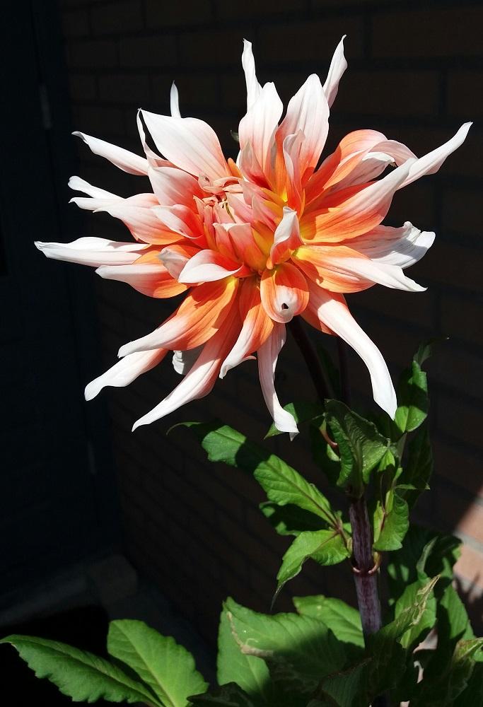 dahlia bloem