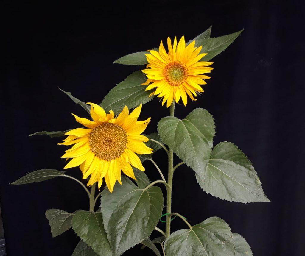 bloeiende zonnebloemen